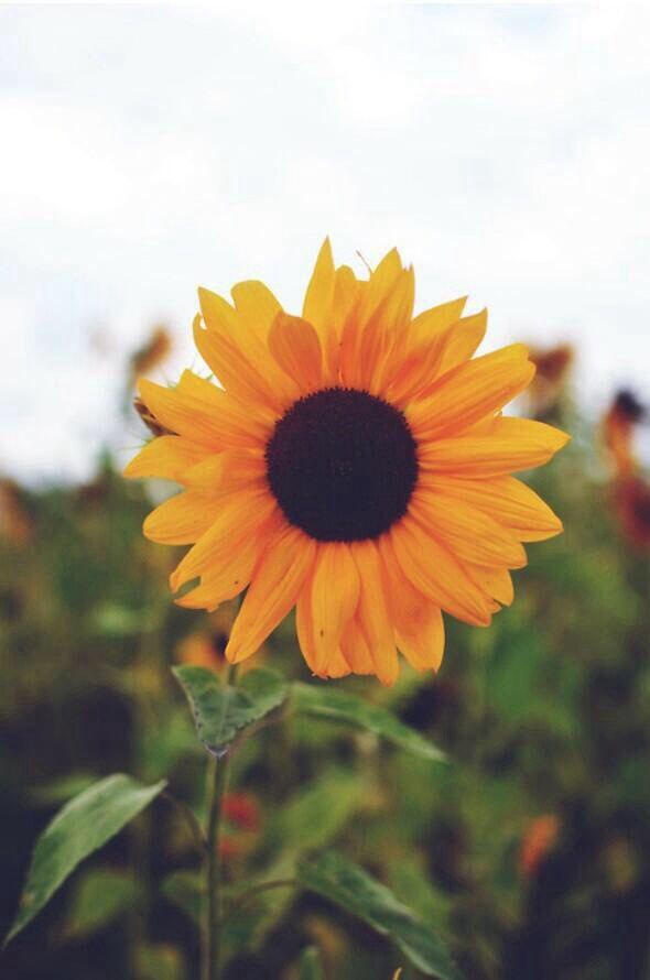 Sunflower wallpaper | iphone wallpapers | Pinterest ...