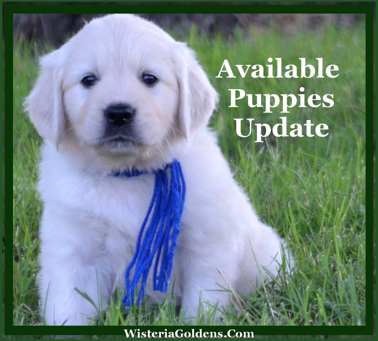 Available Puppies English Golden Retriever Puppies English