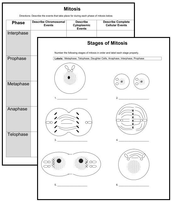 NEW DOWNLOADS 2 Cell Organelle Quizzes 2 Mitosis Worksheets – Mitosis Matching Worksheet