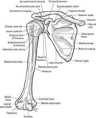 Bones Of The Shoulder Girdle Anatomy Pinterest Anatomy