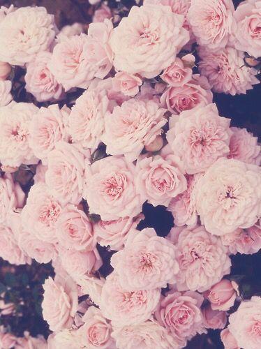 Beautiful Light Pink Roses