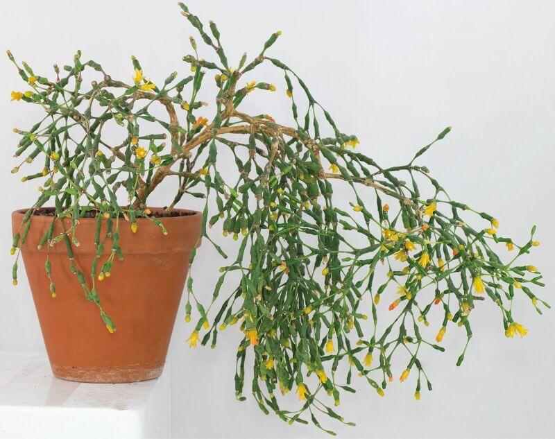 Dancing Bones Cactus Hatiora Salicornioides – Indoor 400 x 300