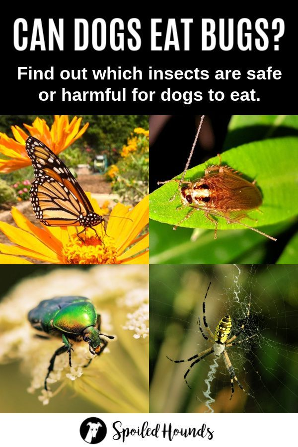 Can Dogs Eat Bugs? Insects Your Dog Can and Cannot Eat
