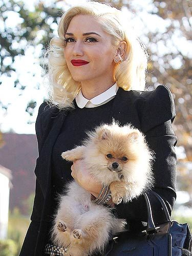 Gwen Stefani Pomeranian Celebrity Dogs Gwen Stefani
