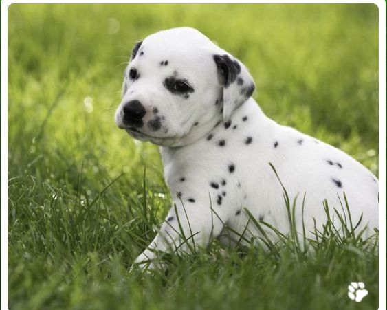 This Dog Is Cute Cutest Dog Ever Dalmatian Puppy Cute Dogs