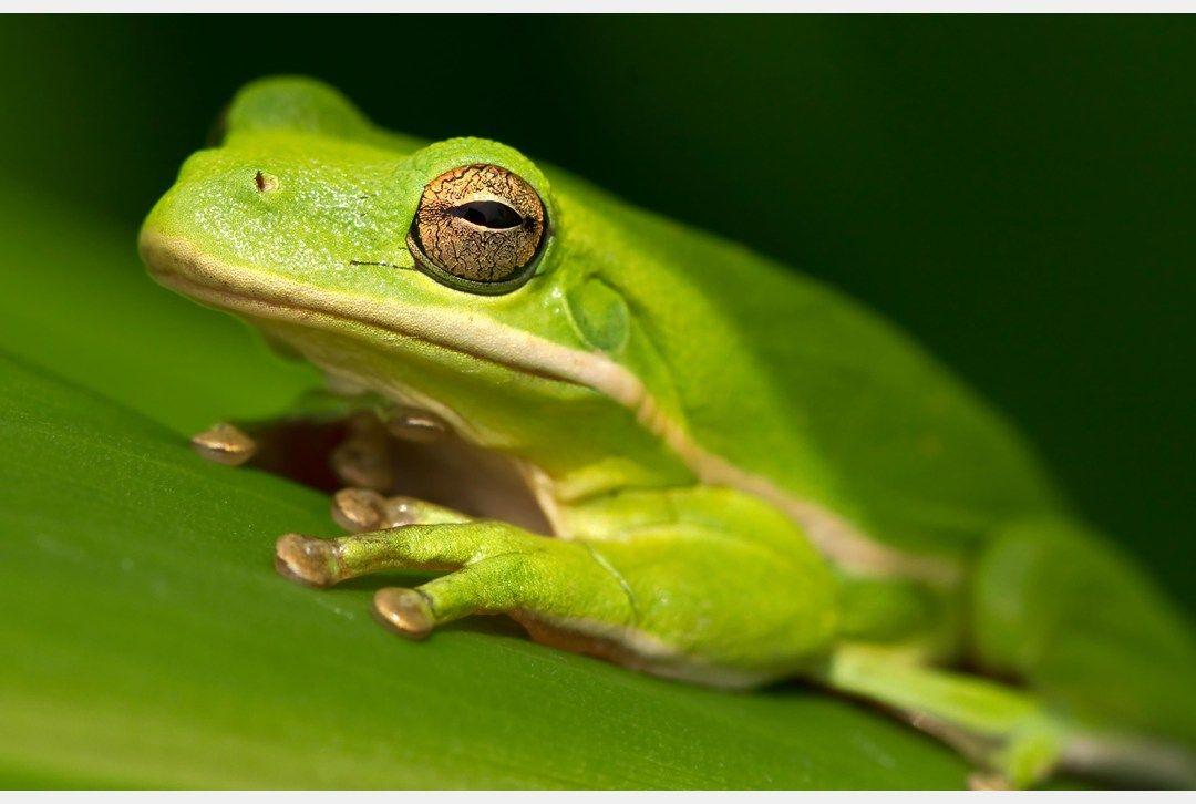 American Green Tree Frog   American green tree frog, Green ...