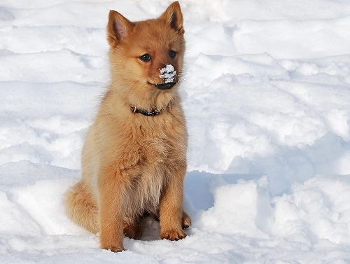 Finnish Spitz Puppy Spitz Dog Breeds Spitz Dogs Finnish Spitz