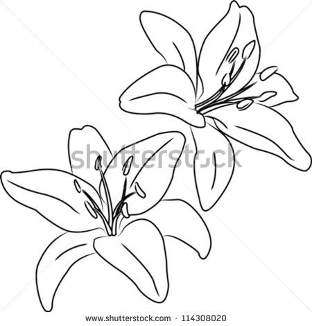 Two blooming asiatic lilies flowers vector sketch outline