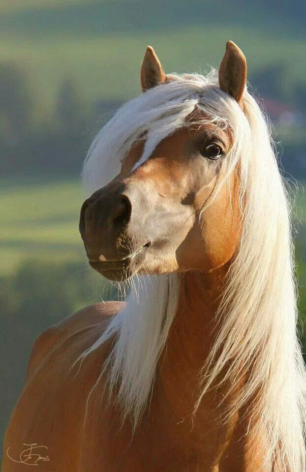 Golden Palomino colored horse, What a pretty face!