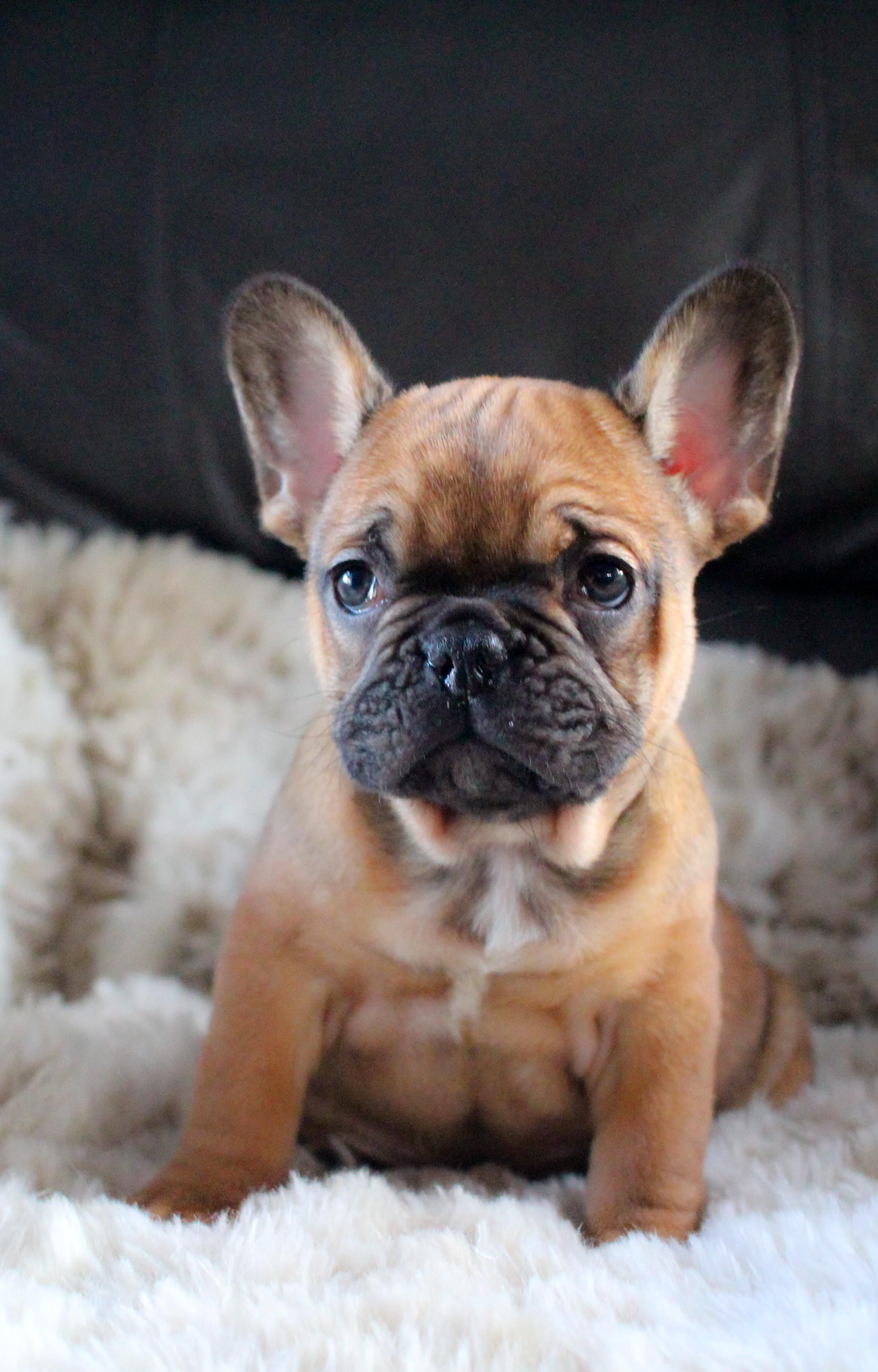 Pin By Brittni Villarreal On Animals With Images French Bulldog Puppies Bulldog Puppies Puppies
