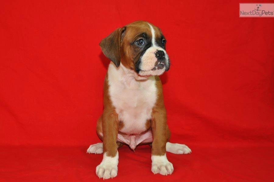 Akc Boxer Flashy Mahogany Male Boxer Puppies For Sale Boxers For Sale Cute Boxer Puppies