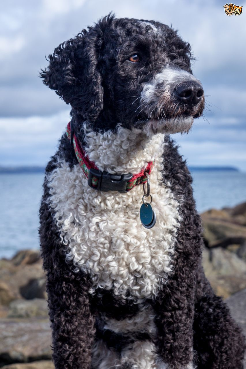 Top Ten Dog Breeds  Portuguese Water Dog, Dog Breeds -9043