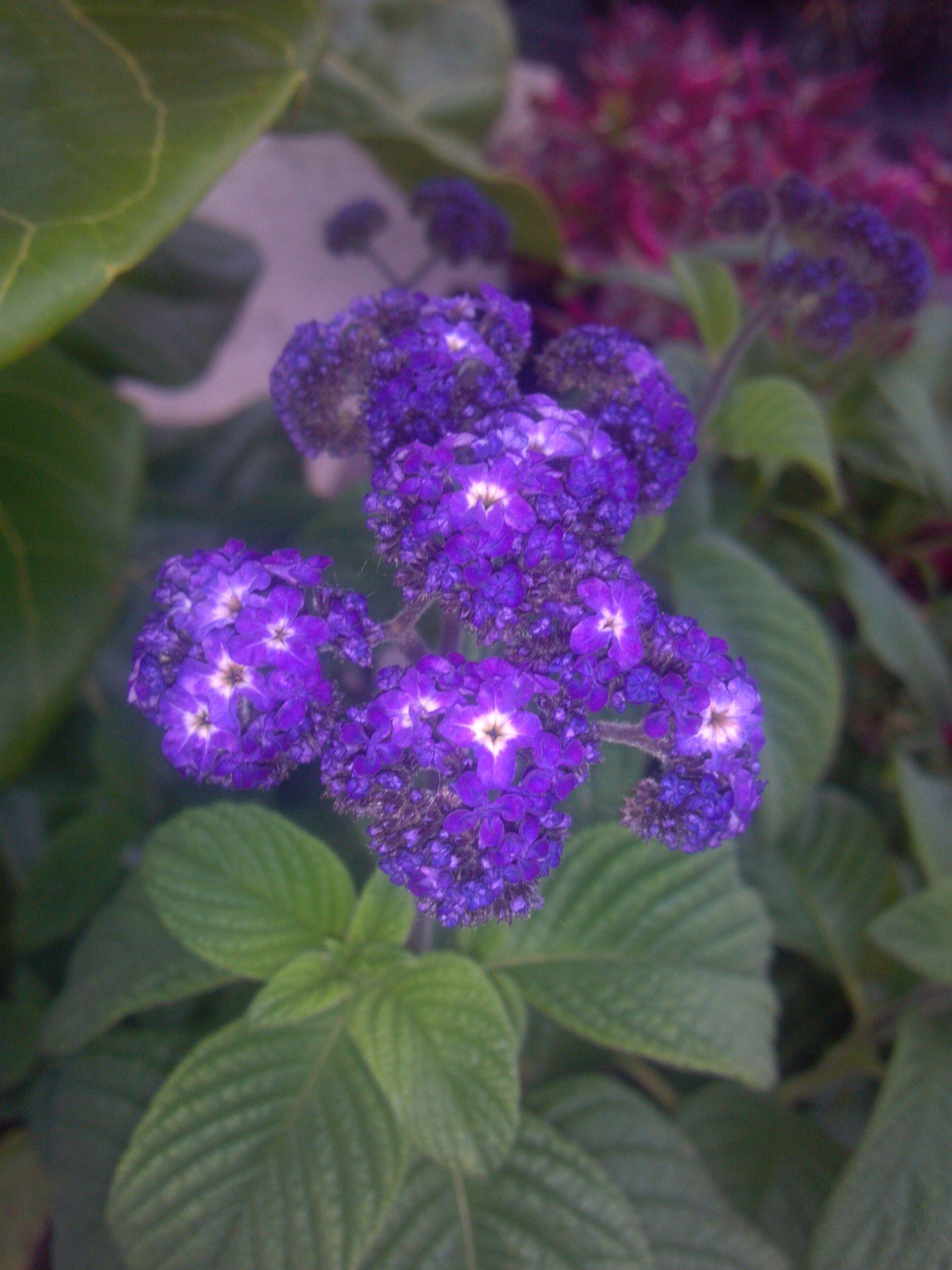 Heliotrope - smells like vanilla   Flower delivery, Fresh ...