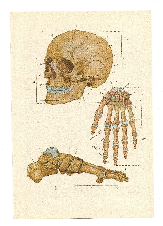 2 Vintage Anatomical Prints skull skeleton blood guts Medical ...