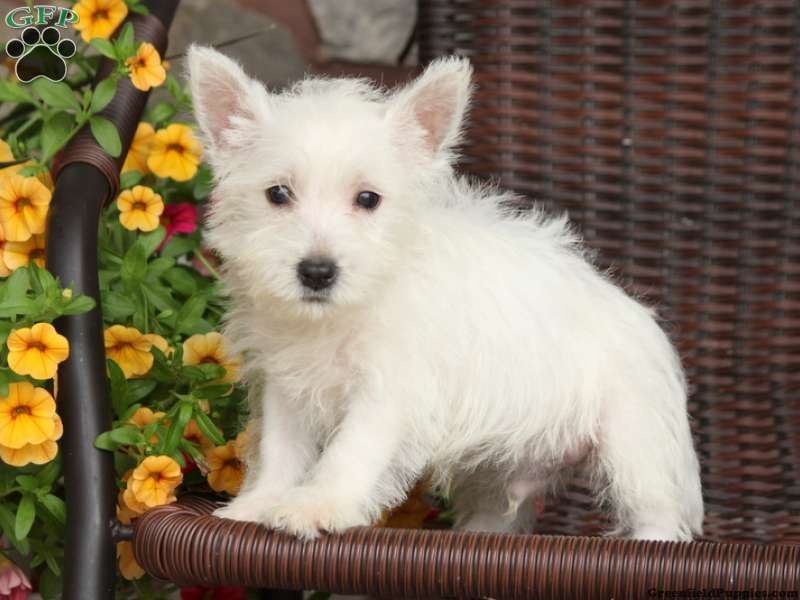 Moby Westie Puppy For Sale From Millersburg Pa Westie Puppies