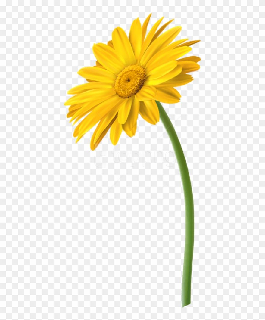 Download Hd Free Png Yellow Gerbera Flower Png Images Transparent Marguerite Daisy Clipart And Use The Free Clipart Flower Png Images Gerbera Flower Gerbera