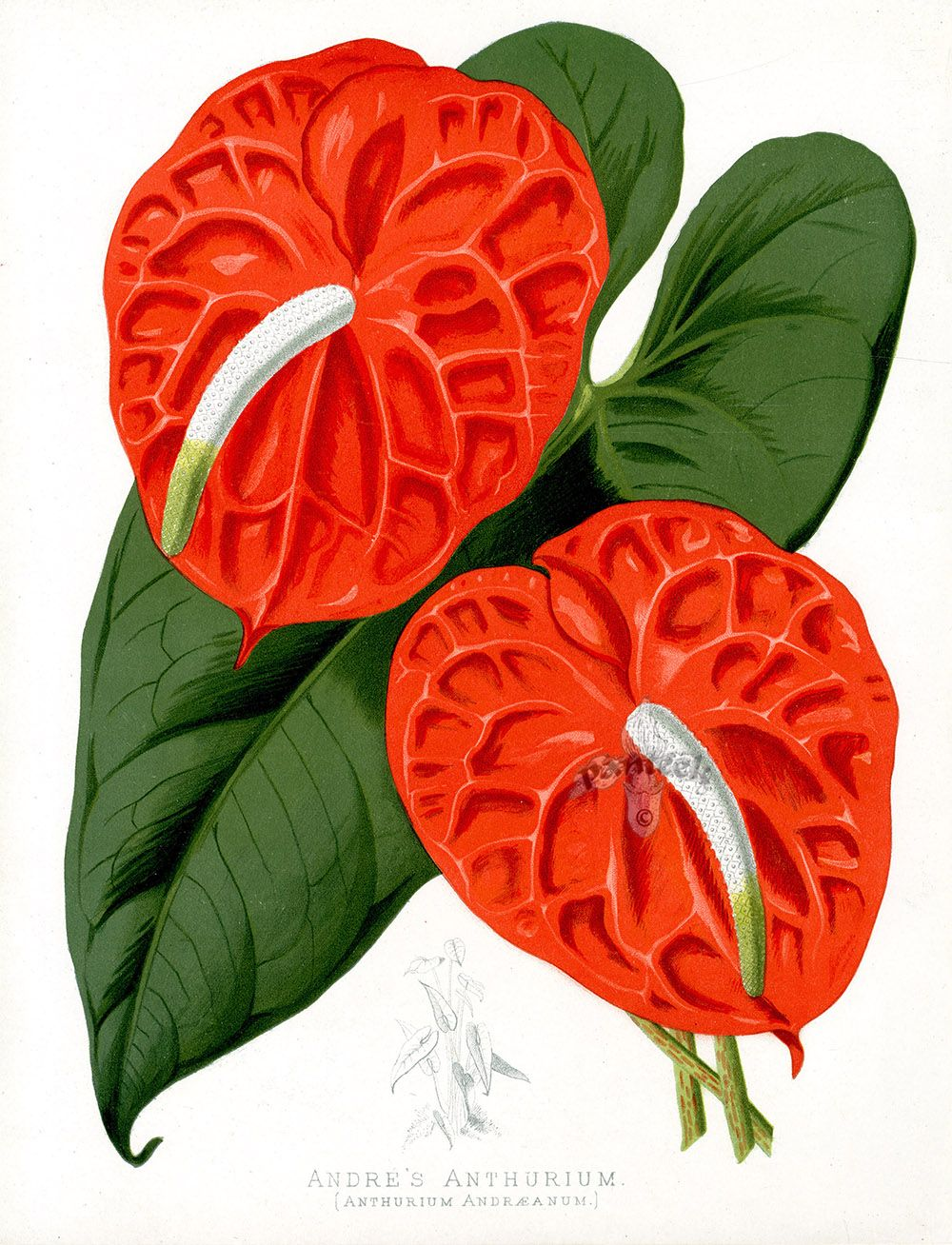 Andre S Anthurium Anthurium Andraeanum From Floral Prints By Joseph Paxton 1884 Flower Art Drawing Botanical Illustration Anthurium