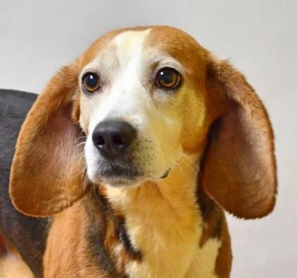Pet Of The Week Pets Seniors For Seniors Beagle