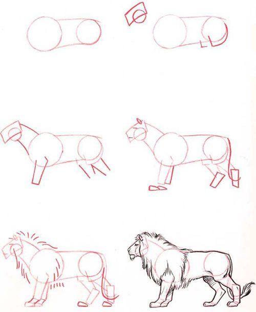 Learn to draw a lion animal studies