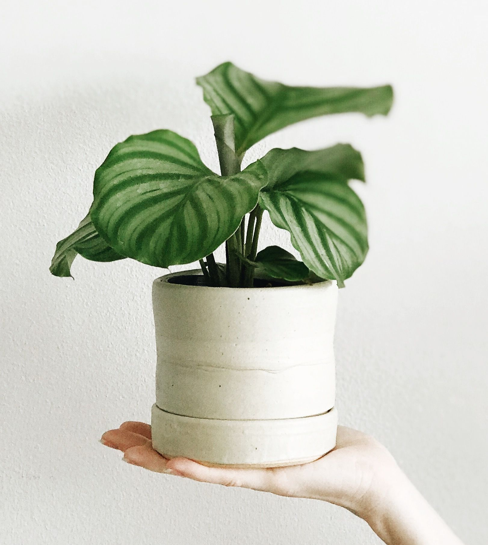 Calathea orbifolia in a handmade ceramic 'Stack' planter
