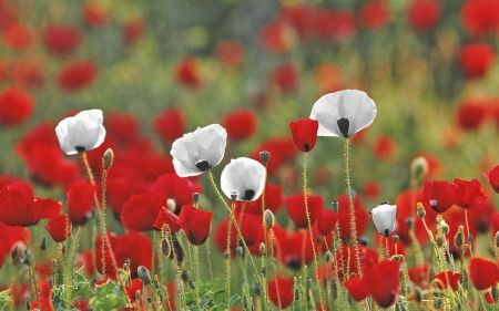 Poppies - blossoms, white, red, field
