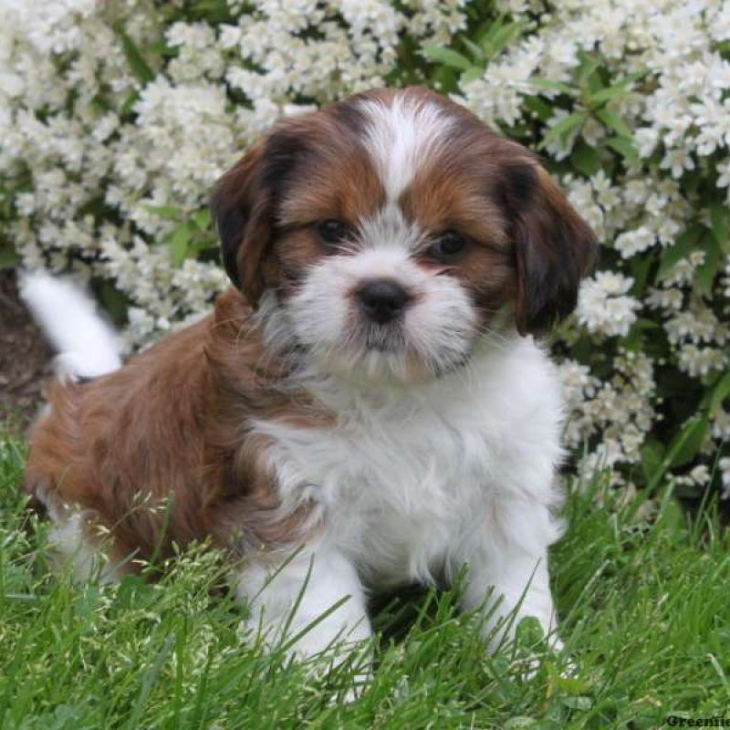 Cava Tzu Puppies For Sale Cava Tzu Pups Greenfield Puppies Puppies For Sale Spaniel Puppies For Sale King Charles Cavalier Spaniel Puppy
