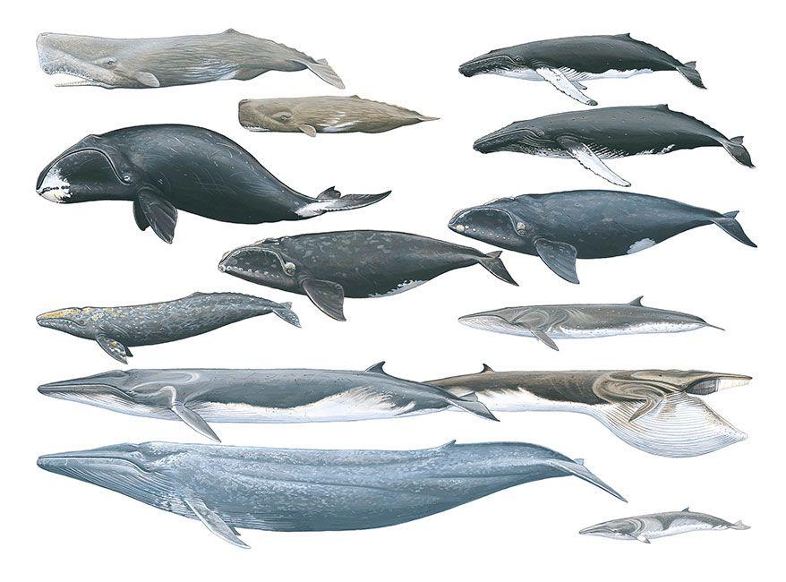 легкий все виды китов фото и названия менее важным является