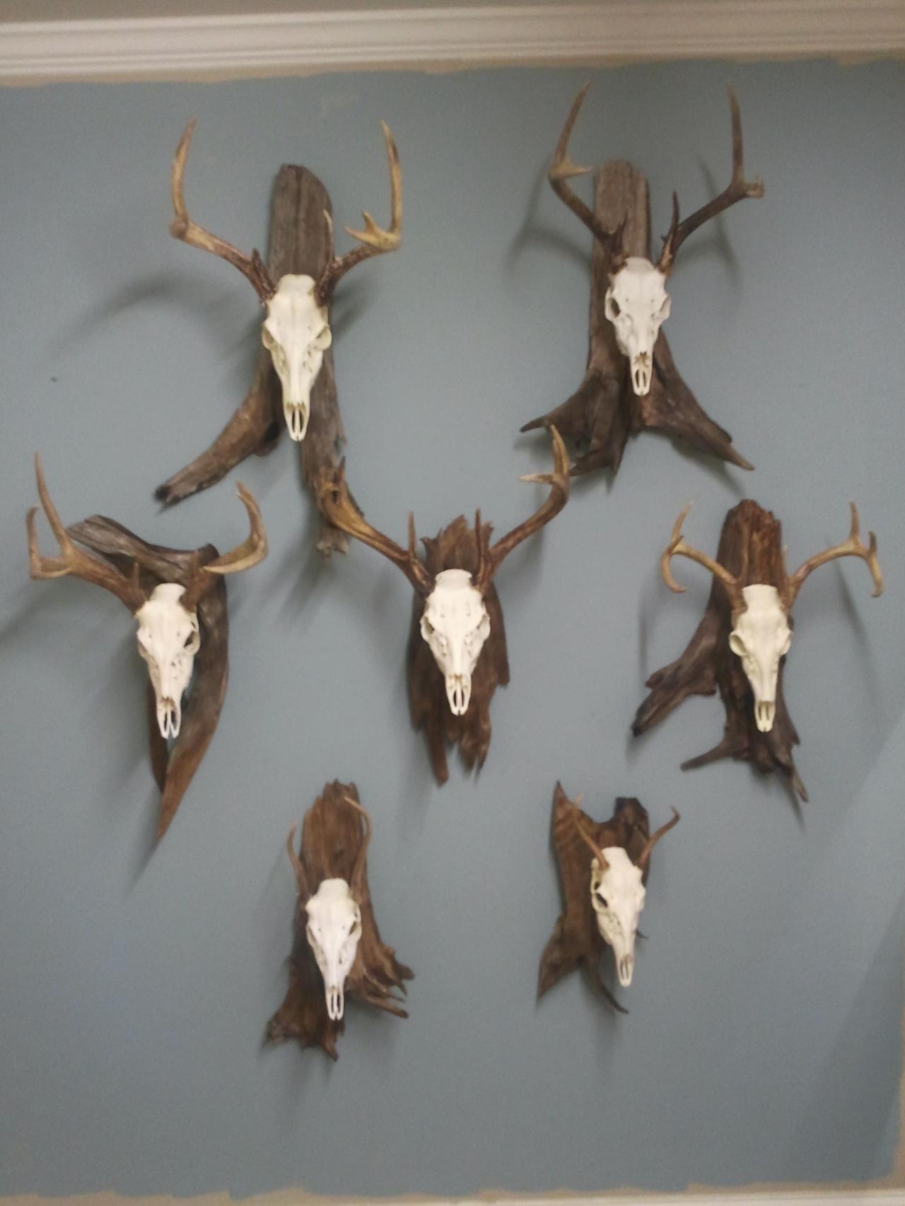 Deer skull mount ideas - European Deer Mount Google Search