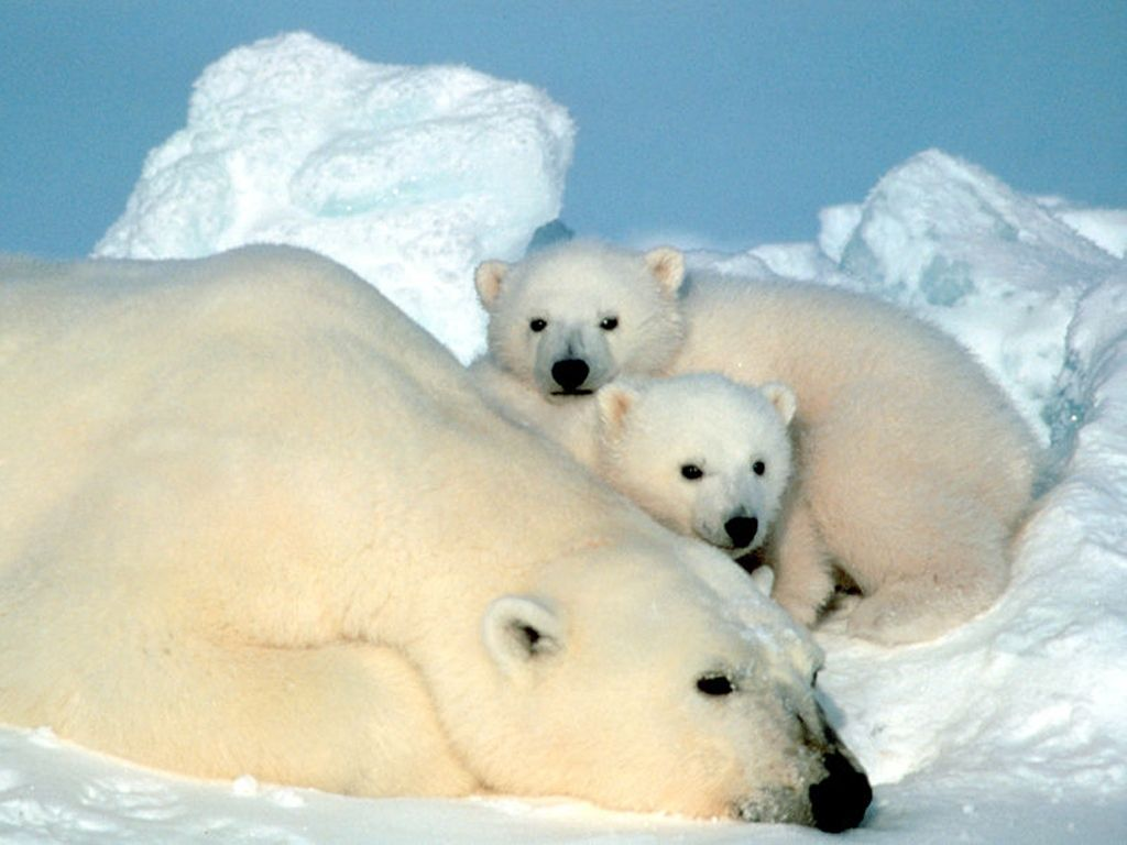 Their economy might be booming but are the chinese the cruellest mama bear and her cubs not only can they survive cold weather but her voltagebd Images