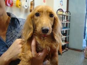Adopt Michael Adopted On Dog Sounds Adoptable Dachshund Dog