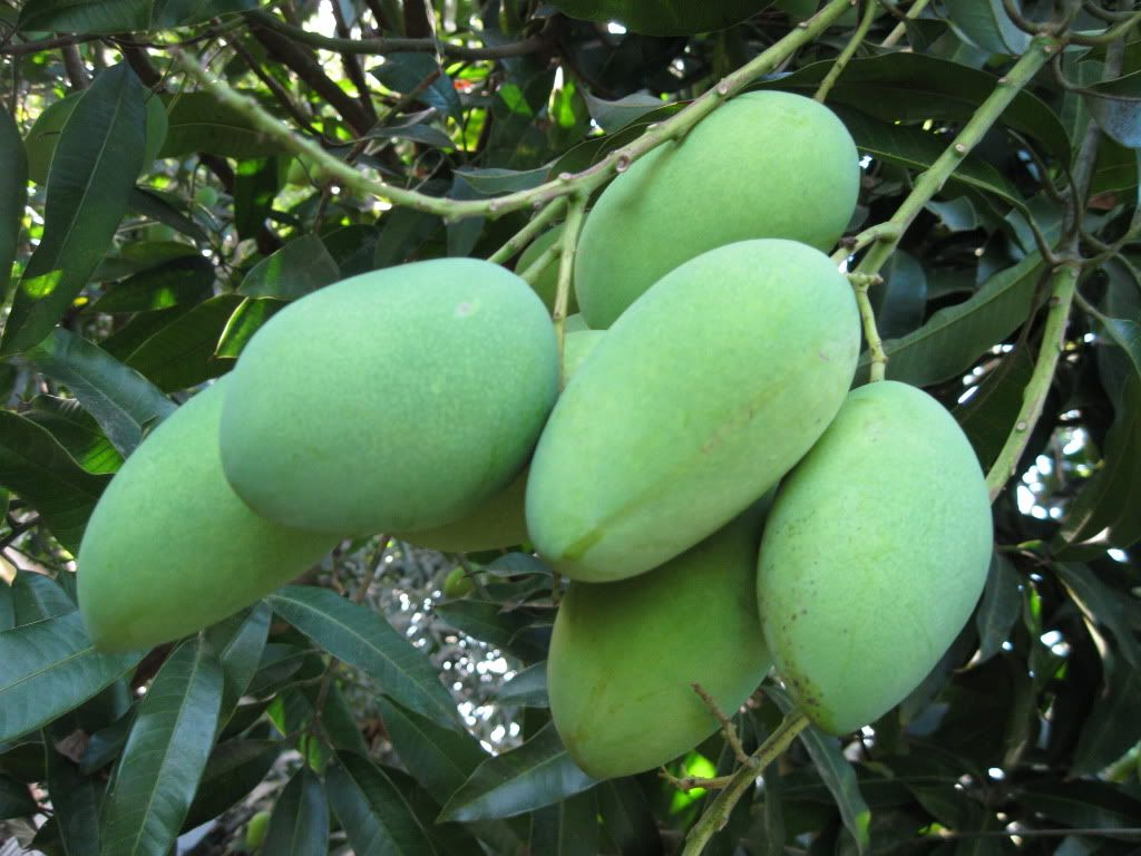 The Philippine Green Mangoes!! :))