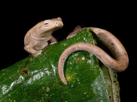 This Salamander Species Doesn T Use Lungs Instead It Absorbs Oxygen Through Its Skin Ecuador Animals Reptiles And Amphibians Amphibians