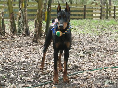 Serious My Main Man A K C Doberman Puppies For Sale Hawthorne