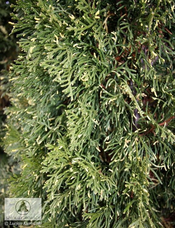 thuja occidentalis 39 smaragd variegata 39 google otsing okaspuud pinterest thuja occidentalis. Black Bedroom Furniture Sets. Home Design Ideas