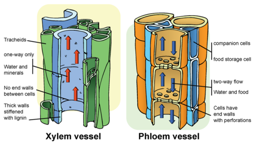 plant structure xylem and phloem