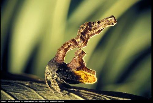 Treehopper,  Cladonota latifrons, South America