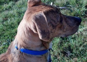 Adopt Claire On Boxer Dogs Dogs Boxer Shepherd Mix