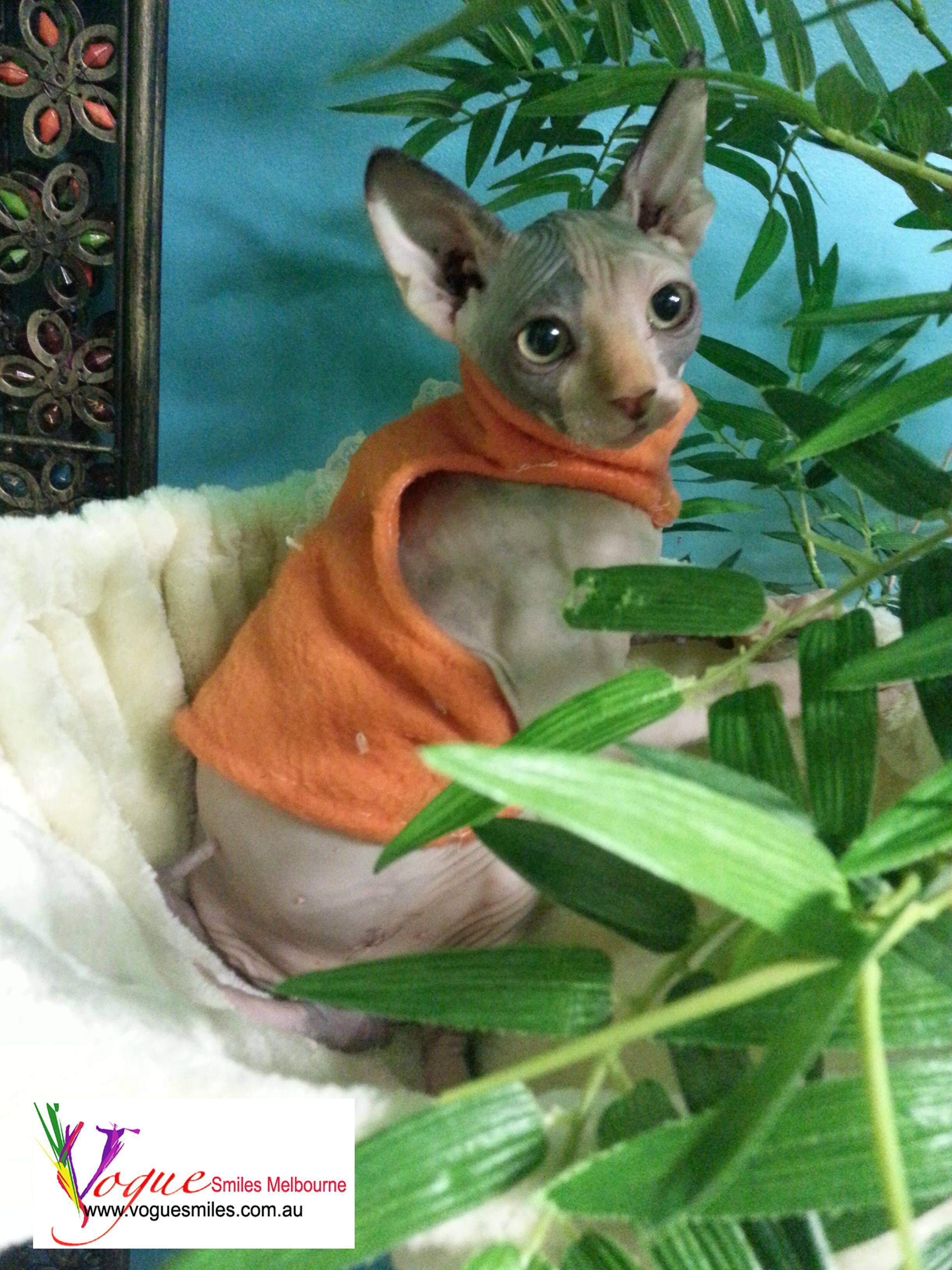 Sphynx Kitten Of The Dentist Melbourne Dr Zenaidy Castro Of Vogue Smiles Melbourne Dentist In Melbourne City Cbd 3 Kittens In Costumes Cute Animals Cute Cats