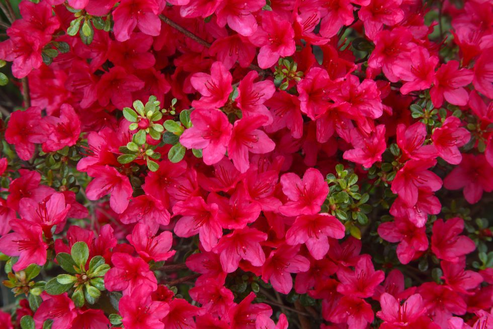 Here Are The Best Evergreens For Adding Year Round Beauty To Your Backyard Azaleas Landscaping Azalea Flower Hydrangea Landscaping