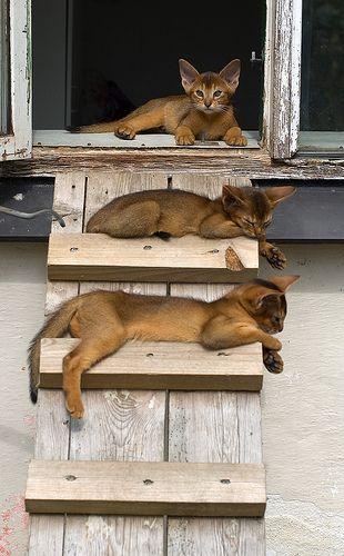 Abyssinian Kittens 2   Kucing Lucu   Kucing lucu dan Kucing