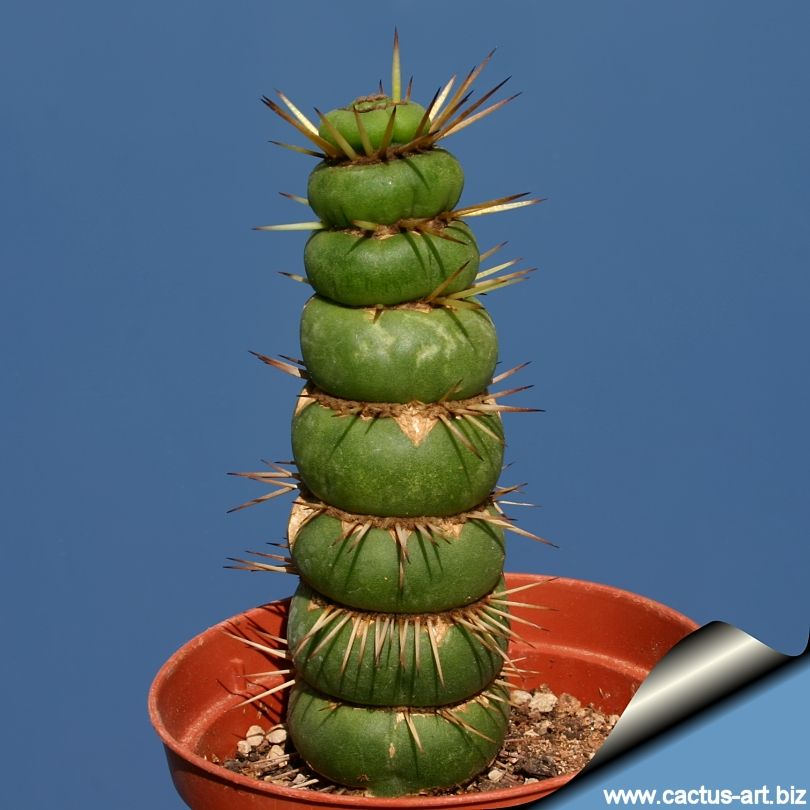 """Eulychnia castanea forma varispiralis """"DISC SHAPED""""  Very cool! I have never seen one of these in rel life...yet!"""