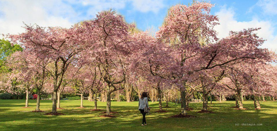 Cherry Blossoms In Cornwall Park Auckland New Zealand Travel The Beautiful Country New Zealand