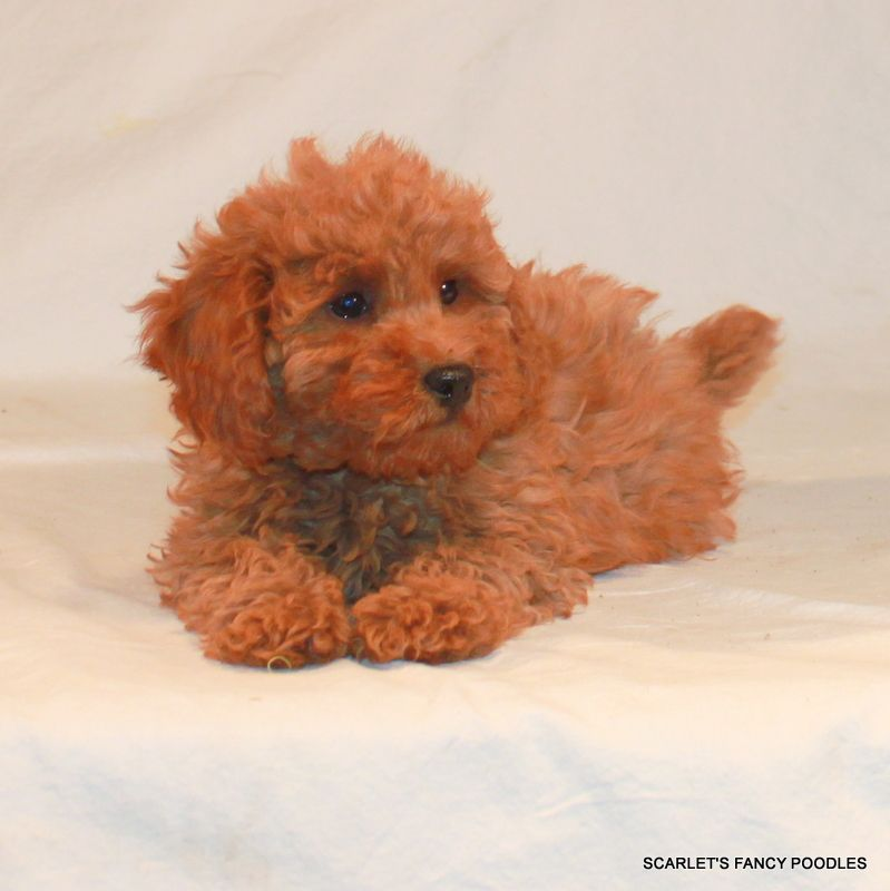 Red Poodle Puppy Akc Puppy Scarlet S Fancy Poodles Puppies For
