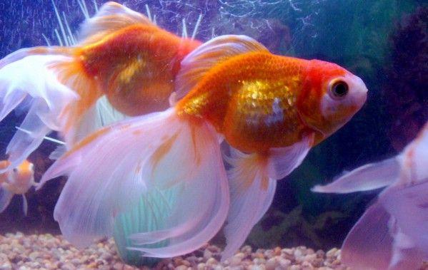 Fancy Fish World Fantail Goldfish Goldfish Common Goldfish
