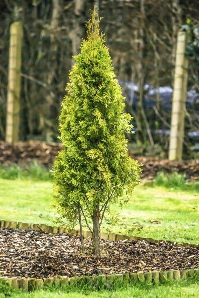 Fertilizing Arborvitae When And How To Fertilize An Arborvitae Arborvitae Landscaping Arborvitae Tree Arborvitae