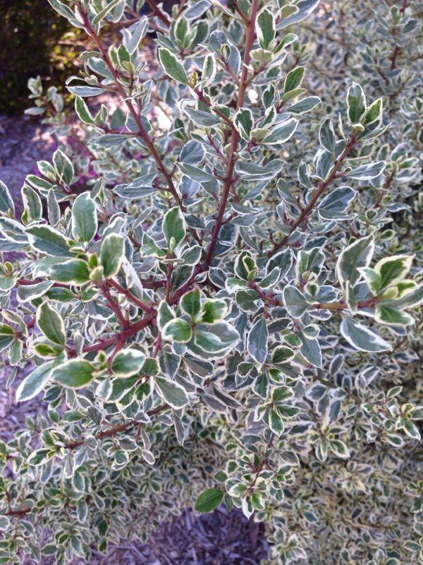 Garden Answers Plant Identification Privacy Plants Plants Evergreen Shrubs
