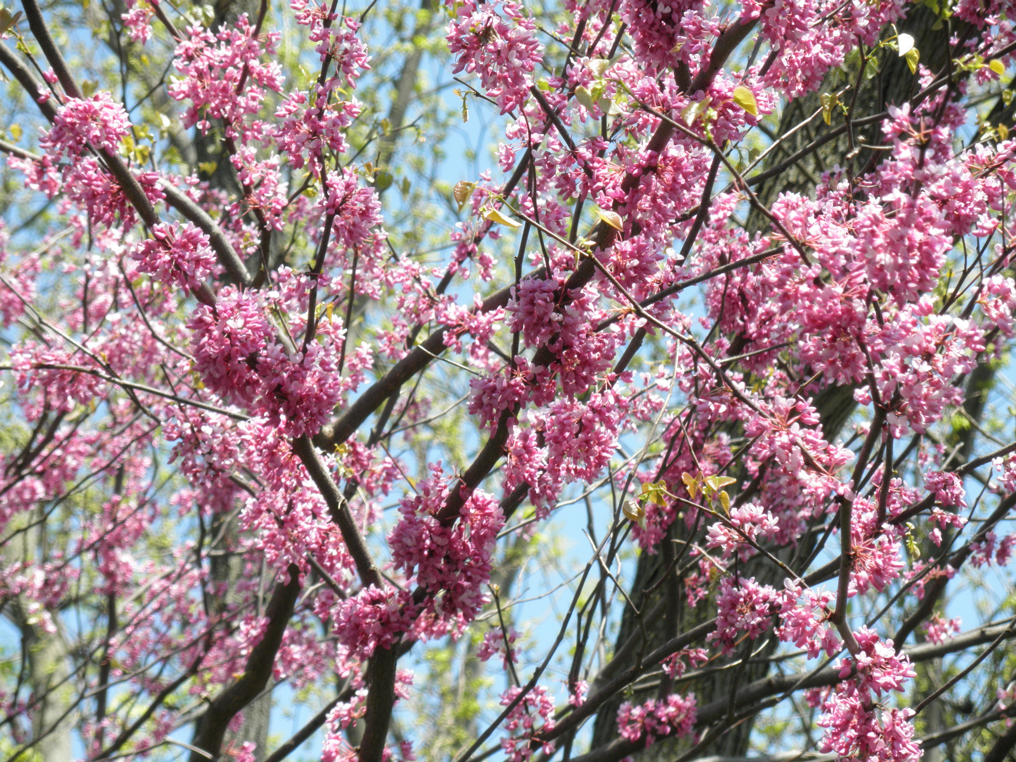 Eastern redbuds bloom early spring gorgeous pink flowers trees eastern redbuds bloom early spring gorgeous pink flowers mightylinksfo Image collections