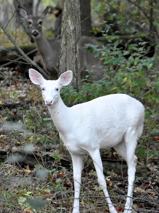 Rare White Deer With Blue Ish Eyes Caught On Video In Michigan Melanistic Animals Rare Albino Animals Albino Animals
