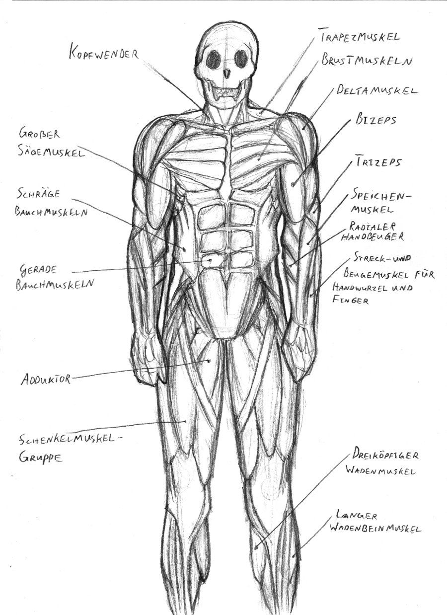 Diagram of Human Muscles System Human Muscular System