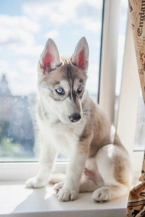 Husky Puppy With Images Cute Animals Animals Beautiful Cute
